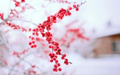 berries-red-branch-winter-nature-wallpaper